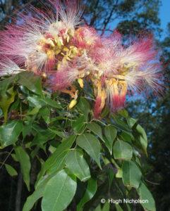 1-Pink Laceflower_Archidendron grandiflorum
