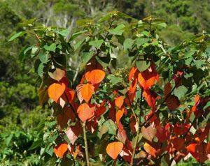 2-BleedingHeart_Homalanthus-populifolius-12
